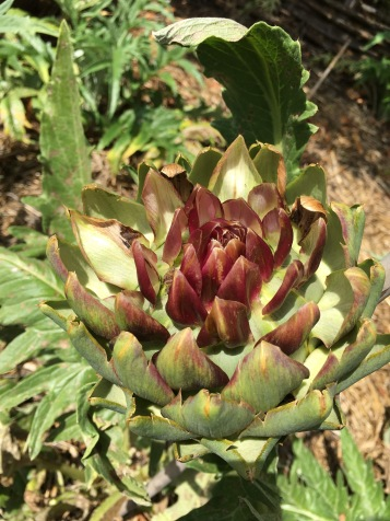 An artichoke is nearly ready for harvest